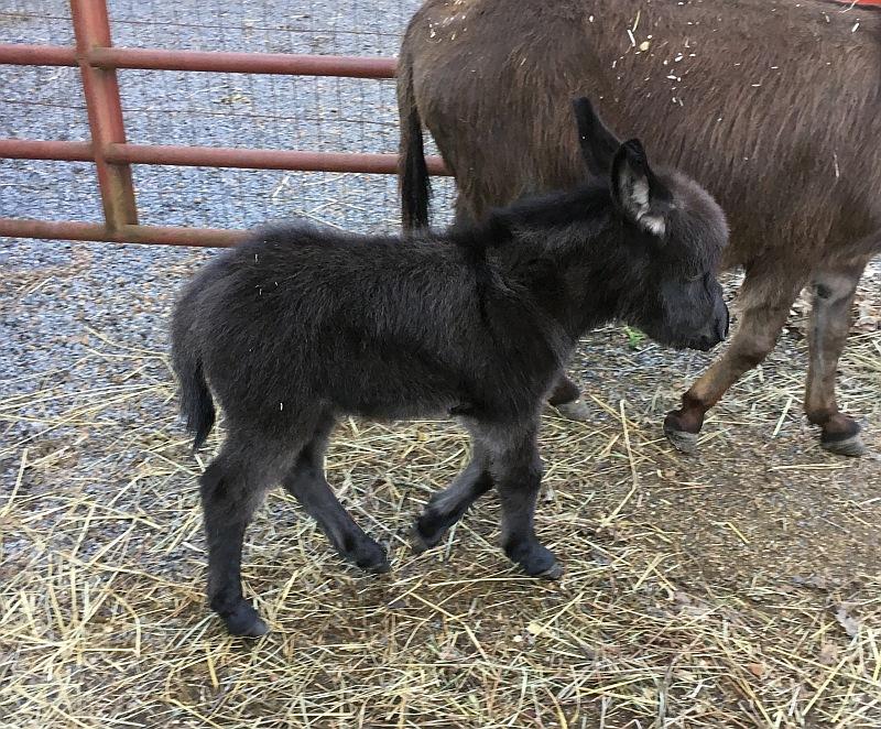 The Little Friends Ranch Miniature Donkeys, Miniature Donkey